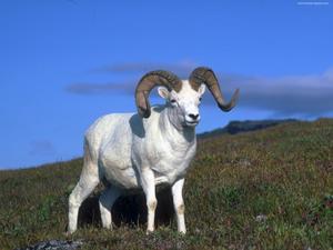 Белый козел близко