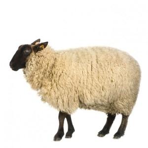 Овца овечий мех