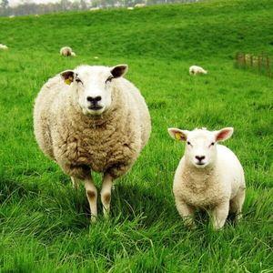 Овца и ягненок крупно