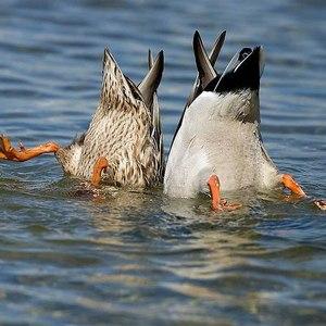 Утка и селезень ныряют фото