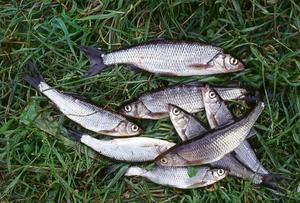 Способы кормления свиней рыбой и рыбными отходами
