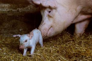 Успешное оплодотворение свиньи