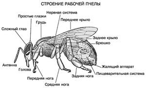 Анатомия медоносной пчелы