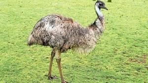 Австралийская порода страусов - Эму фото