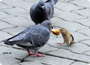 Сколько живу городские голуби
