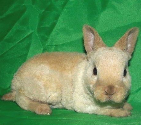 кролик рекс разведение фото