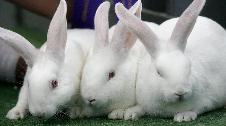 домашние кролики и кролиководство