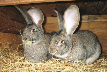 Как улучшить продуктивность кроликов
