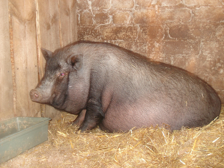 Фото беременной вьетнамской вислобрюхой свиньи