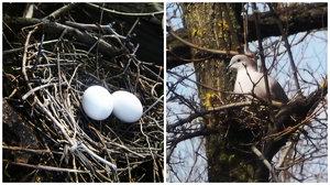 Яйца и гнездо голубя