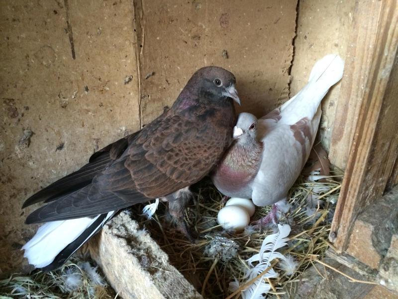 Куда голуби прячут своих птенцов, и почему их не видно на улицах?