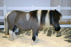 Характеристика породы пони