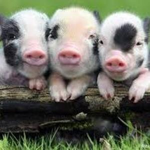 Свиноводство и породы свиней