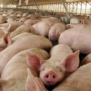 Стадо свиней на ферме