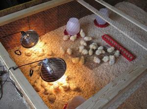 Как сделать брудер для выращивания цыплят своими руками