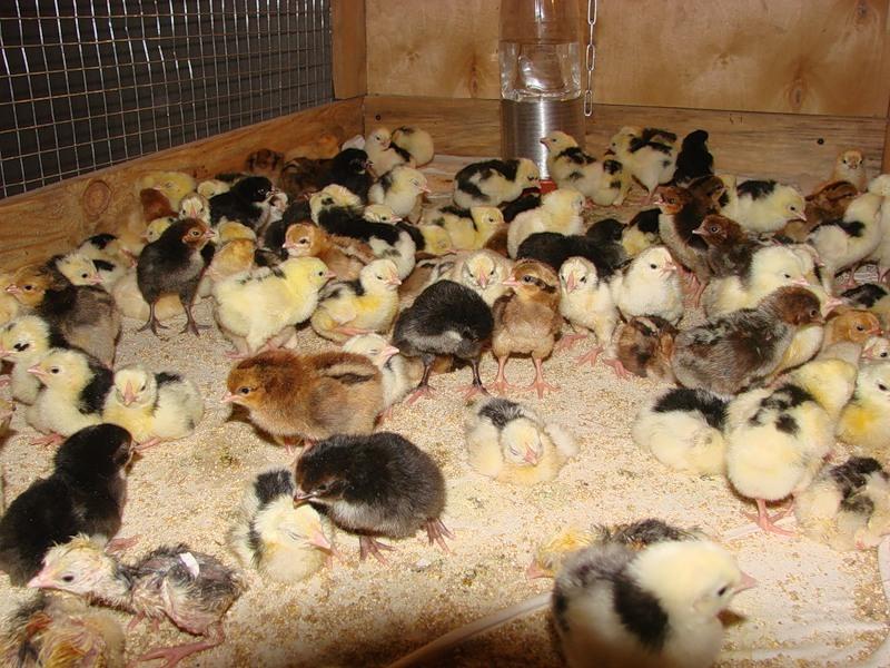 Цыплята в брудер,сделанном своими руками