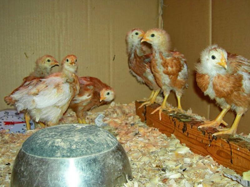 Выращивание цыплят в брудере