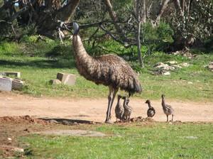 Э́му - крупнейшая австралийская птица