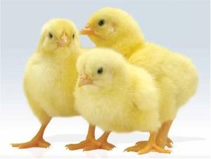 3 цыпленка бройлеров