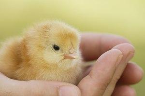 Маленький цыпленок в руке