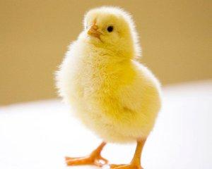 Здоровый цыпленок бройлеров