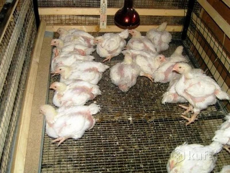 Молодые цыплята бройлеров в клетках