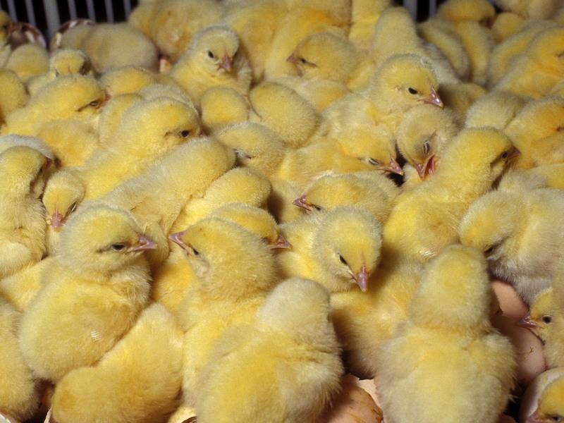 Цыплята отправляются в птичник