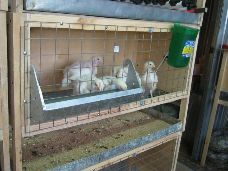 Содержание и разведение бройлерных цыплят