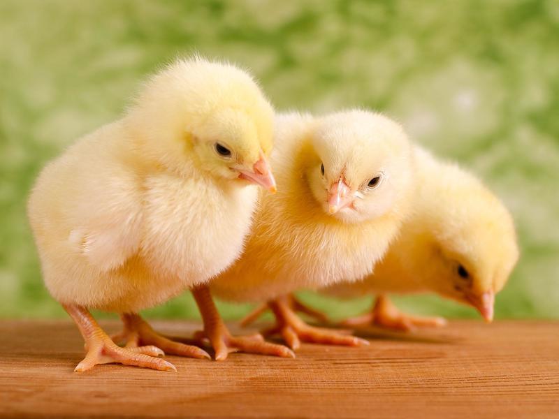 Суточные цыплята на солнышке