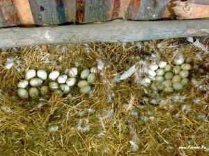 Яйца индеек
