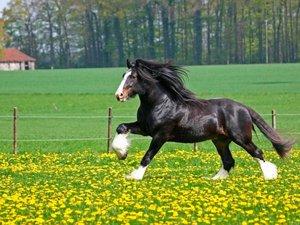 Черная лошадь на прогулке