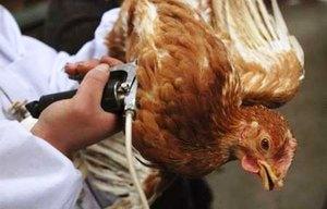 Проявление птичьего гриппа