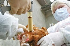 Как лечить птичий грипп