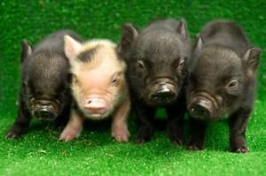 Карликовая свинка в доме