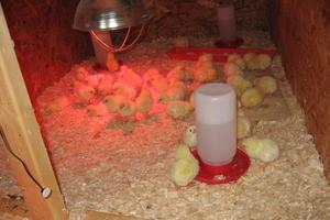 Правила температурного и светового режима для цыплят бройлеров