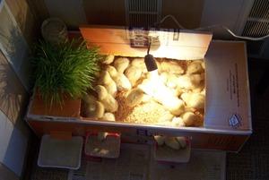 Нюансы выращивания цыплят бройлеров в домашних условиях