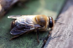 Предназначение трутней в пчелиной семье