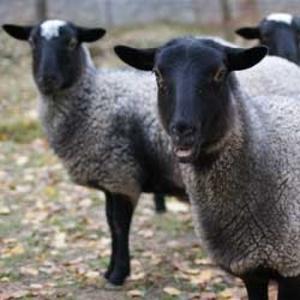 Овцы крупно
