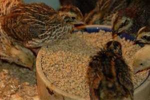 Кормление птенцов первого месяца