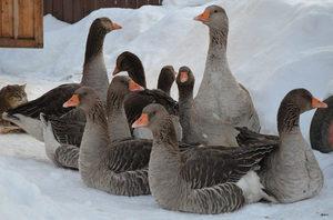 Рацион питания гусей