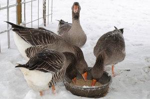 Чем кормить гусей дома