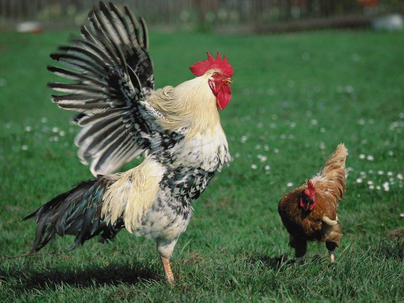 Фото Курицы и Петуха (хлопает крыльями)