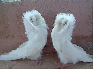 Фотография голубей декоративных
