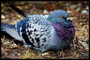 Сизый голубь фотография