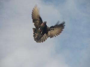 Фотография голубь в полёте