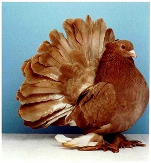 Павлинья порода голубь фото