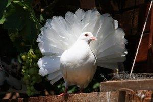 Фантейл голубь фото