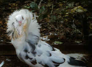 Якобинец голубь фото