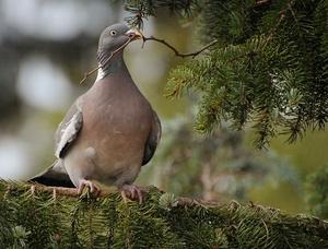 Питание птицы вяхирь