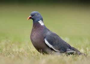 Вгешние вид птицы вяхирь
